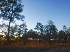 Sunset over the pine savannah