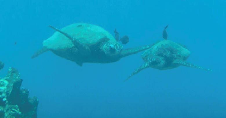 Mahaka Turtles